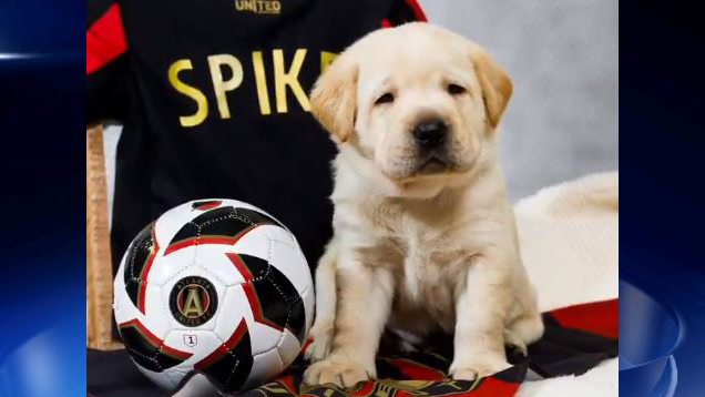 Meet Spike: Atlanta United's new service dog in training